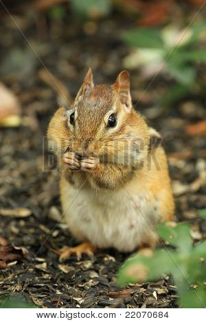 Eastern Chipmunk With Cheeks Full of Food