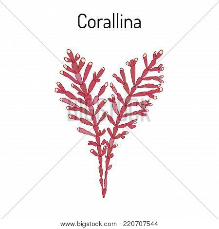 orallina officinalis, seaweed, medicinal plant. Hand drawn botanical vector illustration
