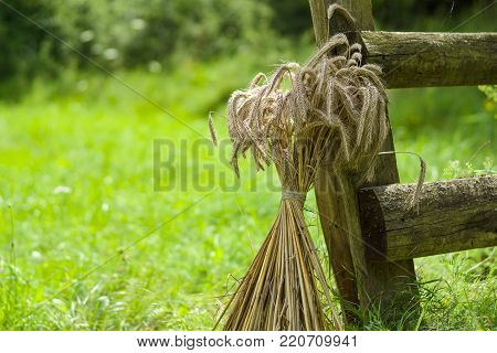 A sheaf of wheat near an old wooden fence.