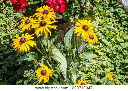 Group Of Black Eyed Susan. The Black Eyed Susan is part of the daisy family. The wildflower is native to North America but is also popular with gardeners for beautiful showy colors and hardiness.