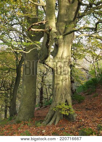 giant ancient beech trees in spring forest on sloping hillside woodland with dappled sunlight