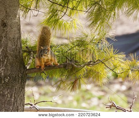 a fox squirrel sitting in a pine tree daring anyone to come closer