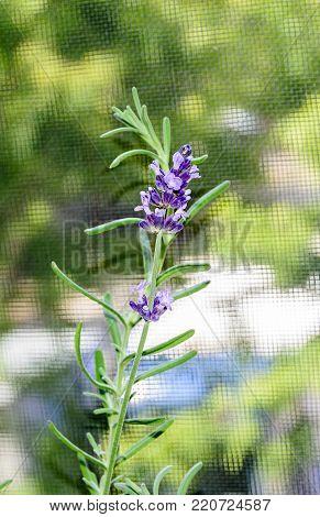 Mauve purple Lavandula angustifolia flowers, lavender, most commonly True Lavender or garden lavender, family Lamiaceae.
