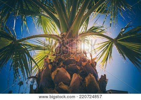 Coachella Valley Palm Tree Closeup. Southern California Vegetation. United States of America.