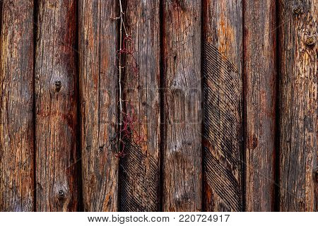 Grape-vine on wooden fence made of red logs