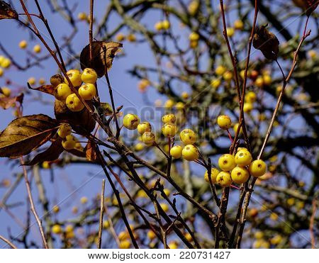 Yellow berry fruits on tree at autumn in Vyborg, Russia.