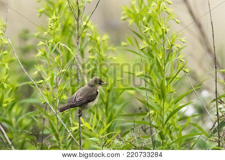 Melodious Warbler (hippolais Polyglotta)