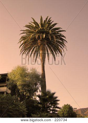 Evening Palm Tree