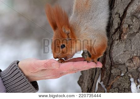 Squirrel eats from the hand. A wild squirrel takes nuts from the hands of a man. Help the wild.