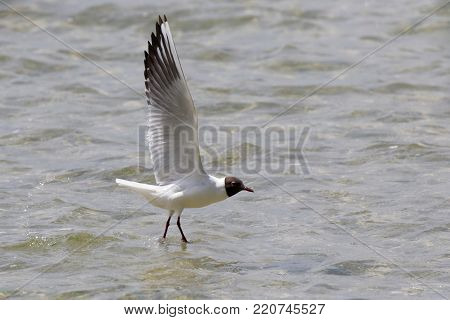 Seagull flying and open wings in the air at lake. Ukraine.   Close up of a seagull in the beach. Seagull flying over the lake.