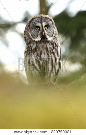 Strix nebulosa. Photographed in the Czech Republic. Owl on the tree. Nature. From Owl's Life. Great owl. He lives in the north of Europe.