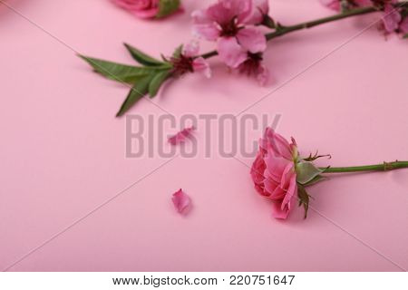 femininity, nature, aroma therapy concept. on the girlish pinky background there is brunch of oriental cherry with blooming buds and wonderful rose in the same shades
