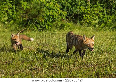 Red Fox Vixen (Vulpes vulpes) and Kit Run Out of Woods - captive animals