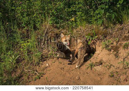 Red Fox Vixen (Vulpes vulpes) Licks Nose at Densite - captive animal