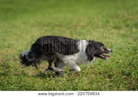 Sheep Dog Runs Right Full Out - at sheep dog herding trials