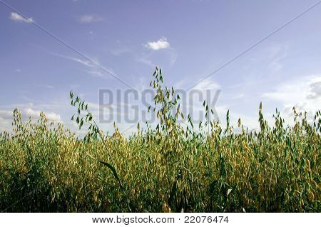 The field of oat.