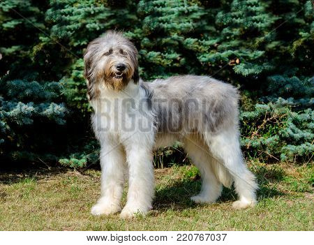 Romanian Shepherd Dog full face. Romanian Mioritic Shepherd Dog is on the grass.
