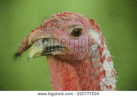 Turkey cock gobbler head closeup macro portrait.