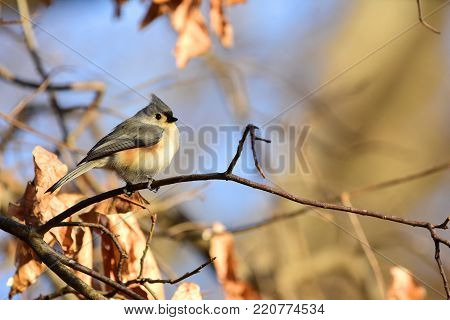An adorable tufted titmouse perched on a branch on a late afternoon day in Missouri.