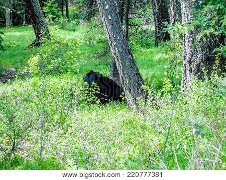 Black bear sitting in the woods, Banff National Park, Alberta, Canada