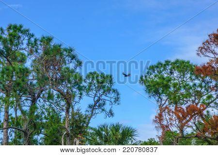 bird flying between slash pine trees in the Florida autumn