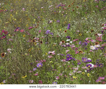 Free range field of Wildflowers in purples and mauves