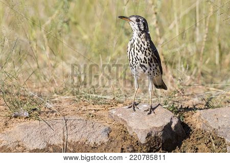 Groundscraper Thrush drinks water from a waterhole in the Kalahari desert