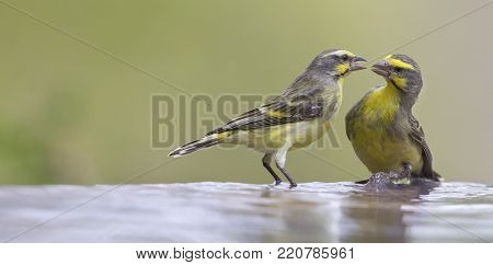 Two Yellow-eyed Canaries interact before drinking and having a bath in a shallow pool