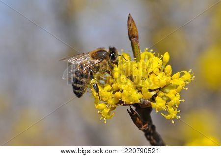 Honey bee collecting nectar on yellow flower, Honey Bee pollinating wild flower, Honey bee flying poster