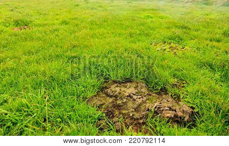 Cow shit dung in the meadow field green grass outdoor