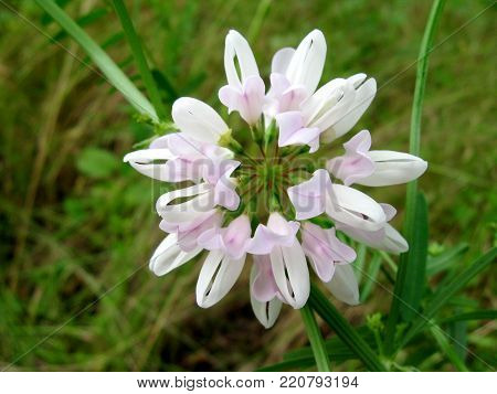 Wild white flower in green grass and leaves