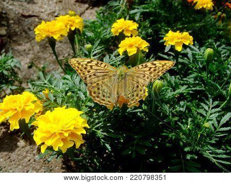 Brown butterfly with spots on a yellow flower. Nikitskiy botanical garden. Creamea