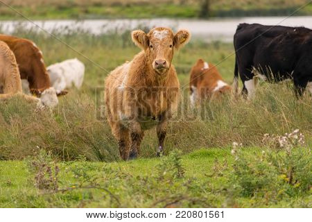 Eye contact with a Red Ayrshire Cow