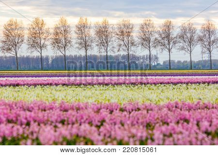bright colourful spring dutch landscape with hyacinth flower field in the Netherlands