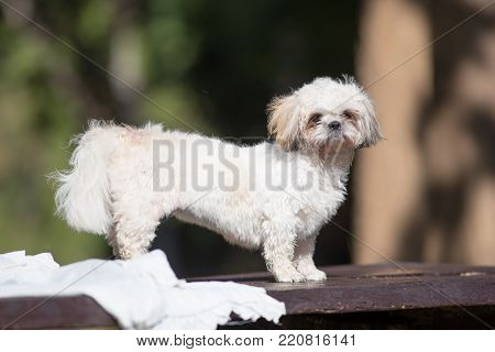 Funny Cute Shih-tzu puppy dog after bath