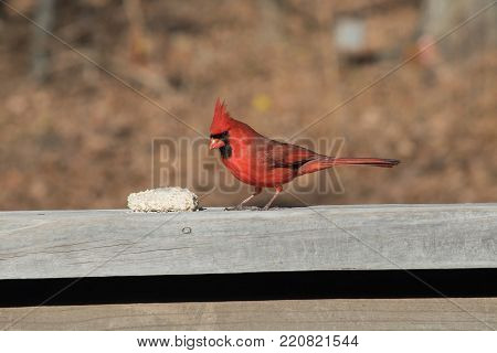 A pretty red male cardinal checks out a suet cake on a backyard deck in Missouri. The photographer caputred a bokeh background.