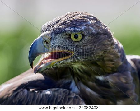 Golden Eagle (Aquila chrysaetos) portrait