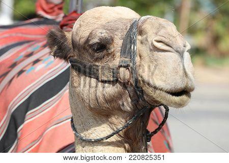 Dromedary Camel on the Street near Jericho. Israel
