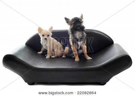 two chihuahuas on a sofa in front of white background poster