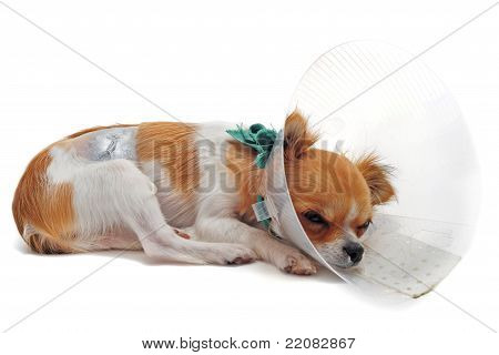 a chihuahua wearing a protective veterinary collar after a surgical operation poster