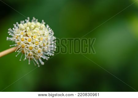 Plant of white yellow, round flower with many small flowers, stamens and pistils, on a green background