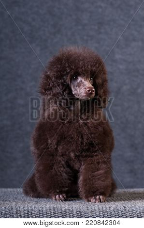 Poodle chocolate color portrait at studio on grey background