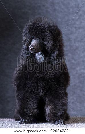 Poodle black color portrait at studio on grey background