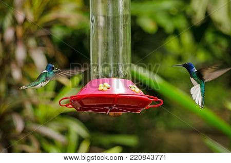 Two white-necked jacobin hummingbirds, latin name Florisuga mellivora, approaching opposite sides of a bird feeder filled with sugared water in the forest on the Caribbean island of Tobago.