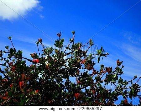 australian native wattle tree in bright blue skies