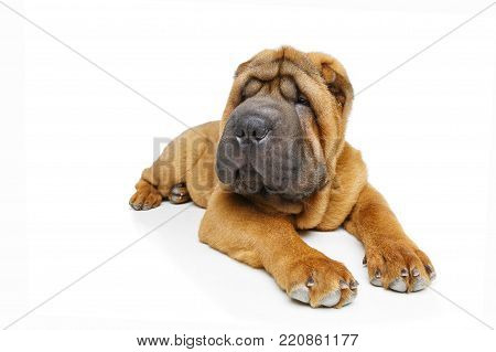 beautiful shar pei puppy lying isolated on white background. copy space.