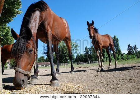 mare and foal grazing in the farm on summer day poster