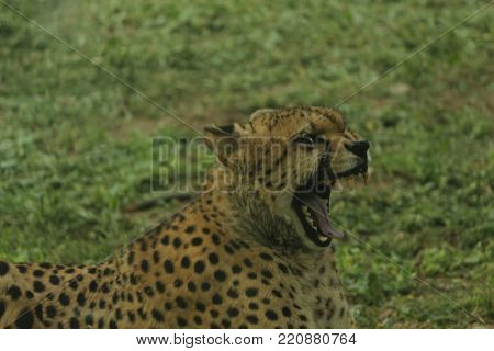 Ferocious look of cheetah with wide open mouth
