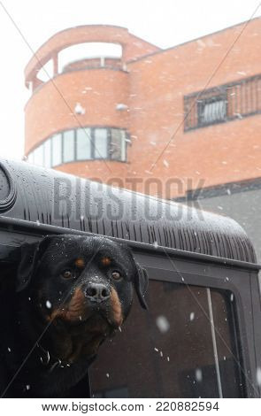 Rottweiler looking from the car on cloudy day