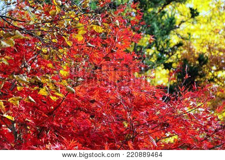 Bright Japanese maple or Acer palmatum branches on the autumn garden